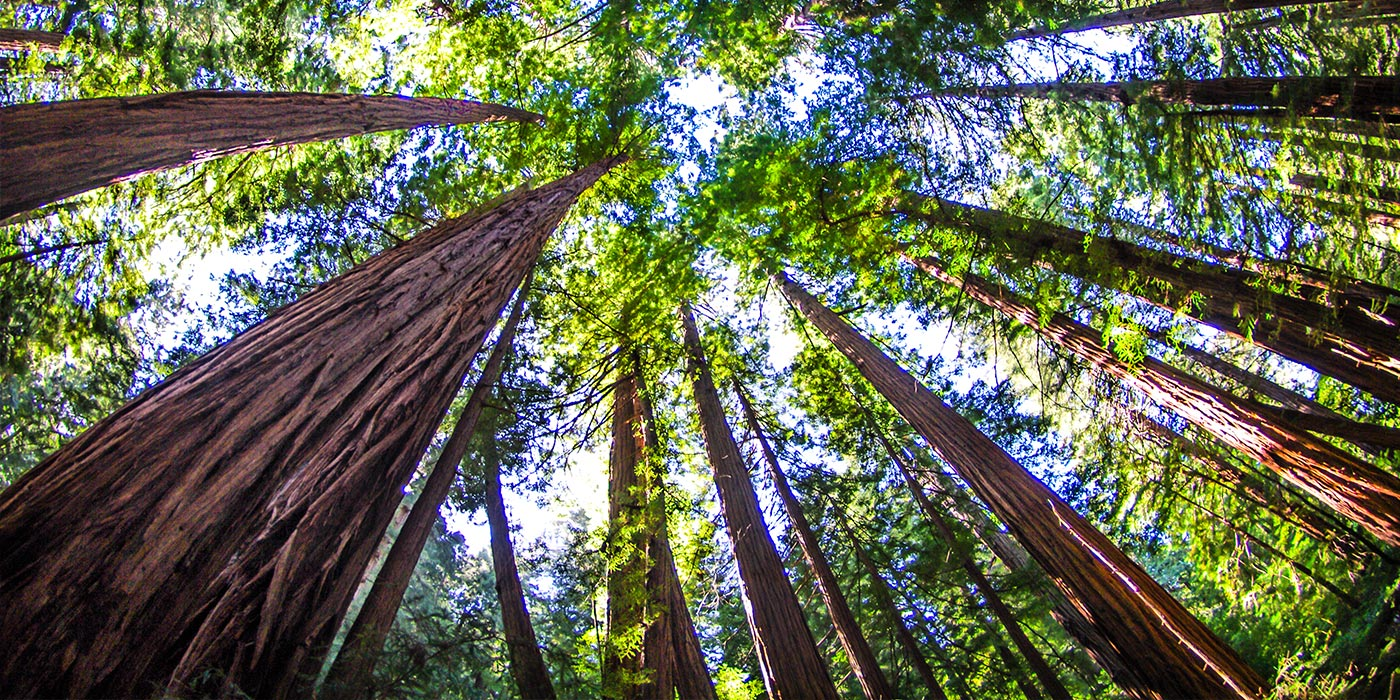 Walk Along The Redwoods At Muir Woods National Monument